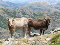 Cows in a mountain pasture Royalty Free Stock Image