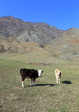 Cows on a mountain pasture. Cows in the spring afternoon in Mountain Altai Stock Photography