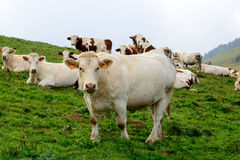 Cows in the mountain pastures. Some white cows in the mountain pastures stock photography