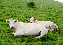 Cows in the mountain pastures. Some white cows in the mountain pastures royalty free stock photo