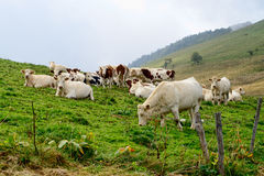 Cows in the mountain pastures. Some white and brown cows in the mountain pastures stock photo