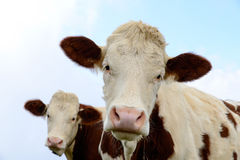 Cows in the mountain pastures Stock Photos