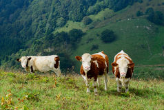 Cows in the mountain pastures Stock Photography