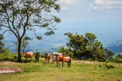 Cows  mountain Stock Photo