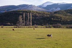 Cows in Mountainous Winter Landscape Meadow. Three Cows Grazing in Mountainous Landscape Valley Winter with trees and hills Stock Photos