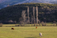 Cows in Mountainous Winter Landscape Meadow. Three Cows Grazing in Mountainous Landscape Valley Winter with trees and hills Stock Photography