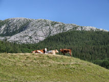 Cows in the mountains. Summer landscape with cows in Norway Stock Image