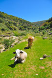 Cows in the mountains. Two cows relaxing in the mountains of Northern Israel Royalty Free Stock Image