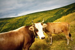 Cows in the mountains Stock Photography