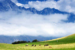 Cows and mountains Royalty Free Stock Image