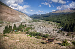Cows in the mountains Royalty Free Stock Photo