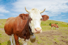 Cows in the mountains with horns and cowbells. Stock Image