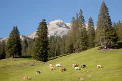 Cows in mountains Royalty Free Stock Images
