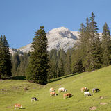 Cows in the mountains of the italian dolomites and blue sky sq Royalty Free Stock Photos