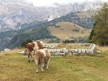 Cows in a mountains landscape in Dolomiti, Italy. Serendipity of two cows in Dolomiti mountains, Italy royalty free stock image