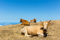 Cows in the mountains Royalty Free Stock Images