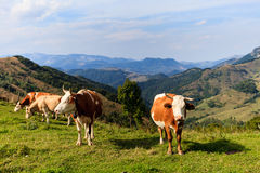 Cows. On the mountains meadows, in Salciua, Alba county, Romania Royalty Free Stock Images