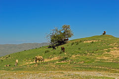Cows in the mountains. Near Tamasha town, Kyrgyzstan Stock Photography