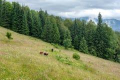 Cows at mountains pasturage Royalty Free Stock Image