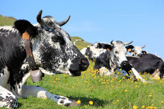 Cows in the mountains. Purebred cows from Vosges in Alsace Royalty Free Stock Photos