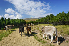 Cows in the mountains stock images