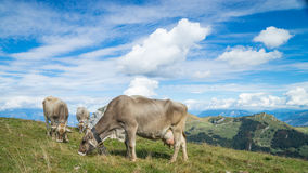 Cows on the mountains Royalty Free Stock Photos