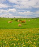 Cows in the mountains of Urbasa, Navarra Stock Photo