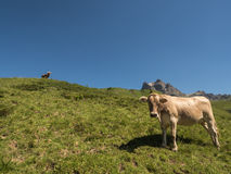 Cows in the mountains Royalty Free Stock Photos
