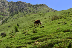 Cows in the mountains Stock Photo
