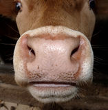 Cows mouth and nose. Details of cows face showing mouth and nose Royalty Free Stock Photos