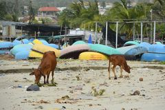 Cows at Mui Ne Fishing Village. Cow wandering along the beach of Mui Ne Fishing Village with some traditional round fishing boats in the background. Despite Royalty Free Stock Photos