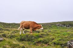 Cows on natural pastures. Brown cows on natural pastures Royalty Free Stock Images
