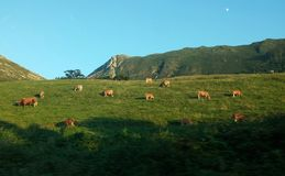 Cows. In nature Stock Photography