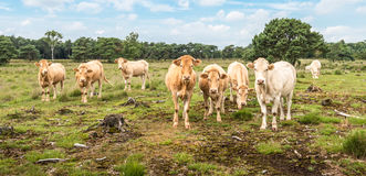 Cows in a nature area Stock Image