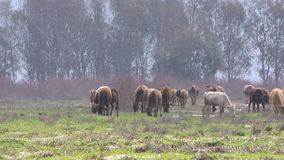 Cows in Nature stock footage