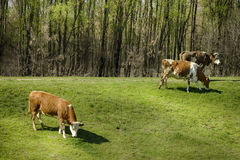 Cows in nature Stock Image