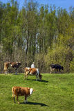Cows in nature Royalty Free Stock Photography
