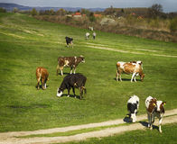 Cows in nature Royalty Free Stock Image