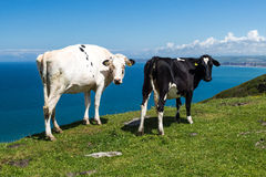 Cows near bude cornwall uk Stock Photo