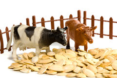 Cows near a fence in pumpkin seeds. Children's toys - two colored cows stand near the fence in pumpkin seeds isolated on white background Royalty Free Stock Photo