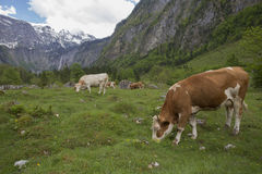 Cows near Koenigsee Stock Images