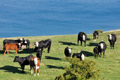 Cows near a lake Royalty Free Stock Images