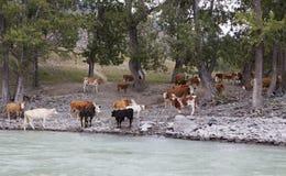 Cows near mountain river Katun, Altai, Russia Stock Photography