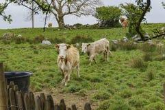 Cows near Poulnabrone Dolmen Stock Photography