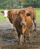 Cows near the stall Stock Photography