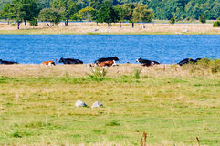 Cows near water. Some cows lye in the warming sunlight close to the sea. Trees are visible in the distance and coastal grassland is in foreground. Copyspace Royalty Free Stock Photography