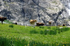 Cows near waterfall. Cows near Shar waterfall. Kyrgyzstan Stock Photography