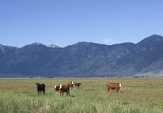 Cows in the Nevada Carson Valley. Photographs of cows in a pasture looking at the camera royalty free stock image