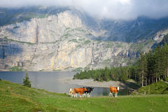 Cows next to the mountain lake. Low cloud and beautiful evening light stock photo