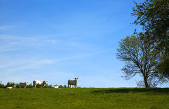 Cows of the normandy Stock Photo